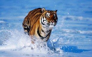tigerkatta